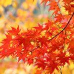 カメラを持って紅葉を撮りに出掛けよう!東京にもある!高尾山や御岳山…どこに行こうか。